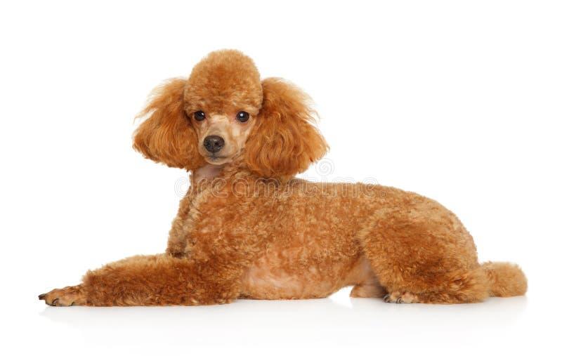 Cachorrinho vermelho da caniche de brinquedo que encontra-se no fundo branco fotografia de stock royalty free