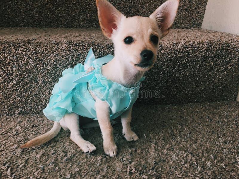Cachorrinho vestido para imprimir fotografia de stock
