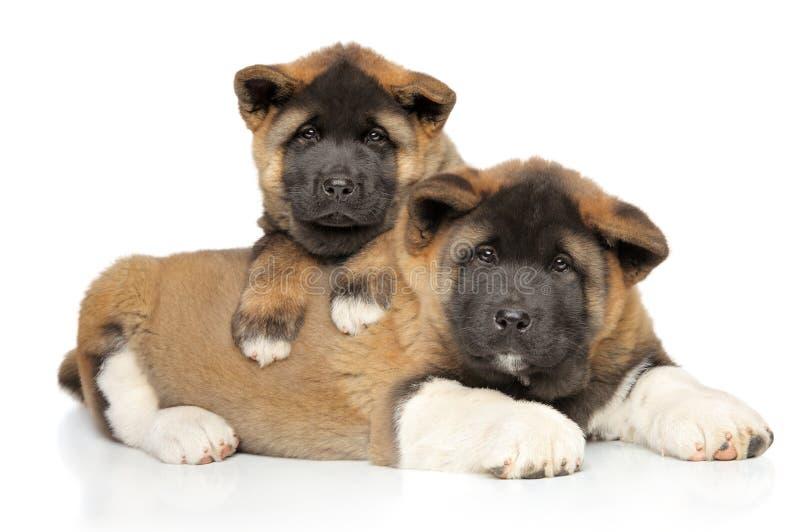 Cachorrinhos de Akita do americano que levantam no fundo branco fotografia de stock
