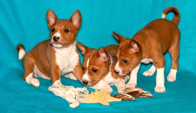 Cachorrinhos de Basenji, retrato do cão foto de stock