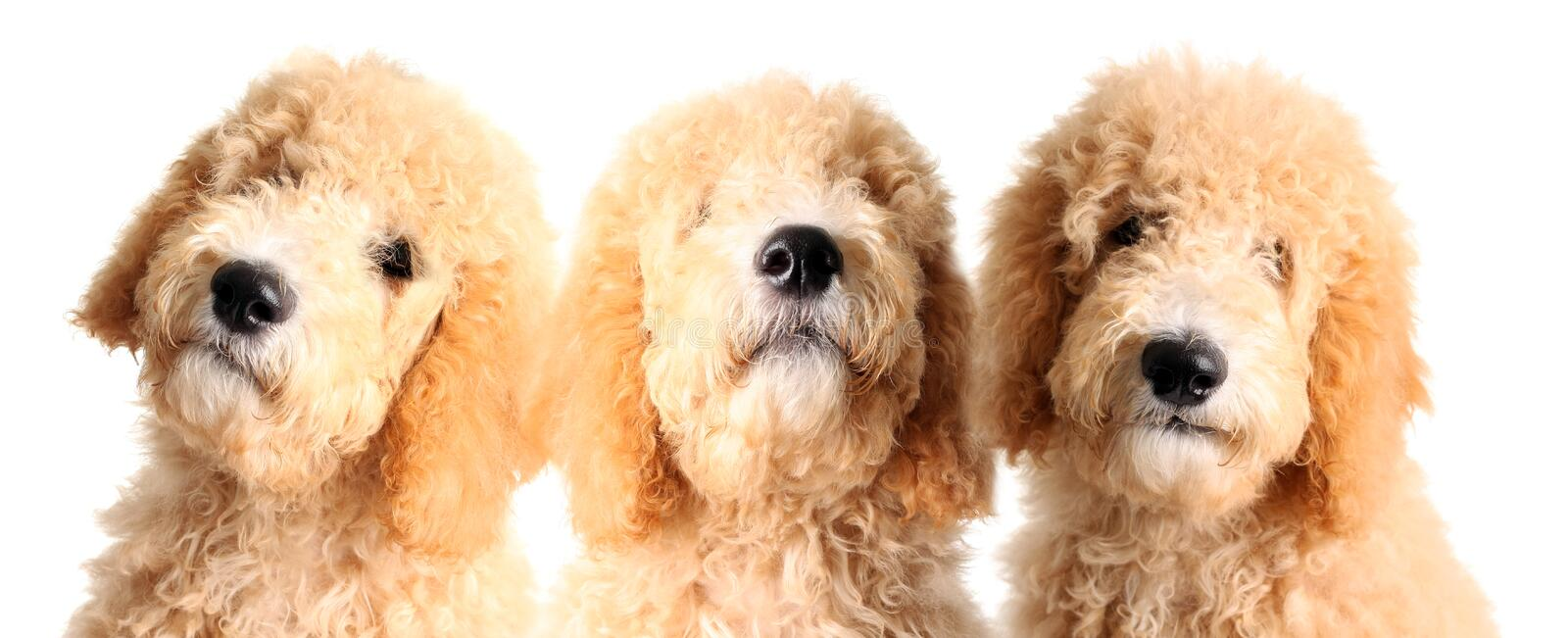Cachorrinhos de Goldendoodle foto de stock