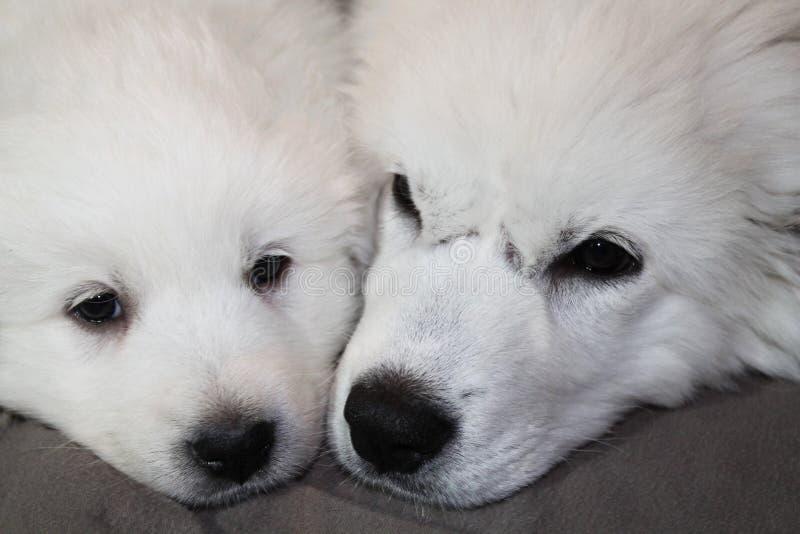 Cachorrinhos de grandes Pyrenees que encontram-se junto imagem de stock