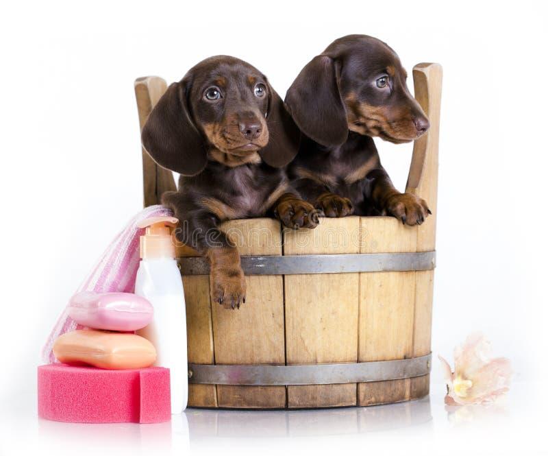 Cachorrinhos de lavagem do bassê em uma cuba, preparando fotos de stock