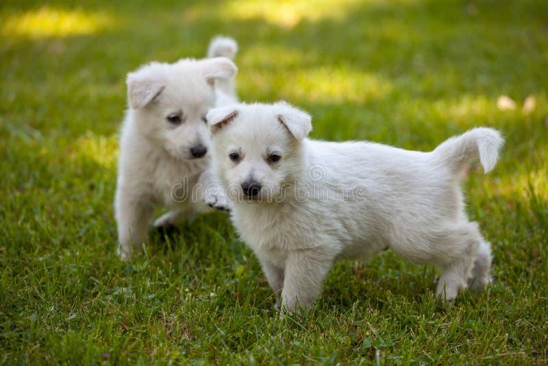 Cachorrinhos de um carneiro-cão suíço branco foto de stock royalty free