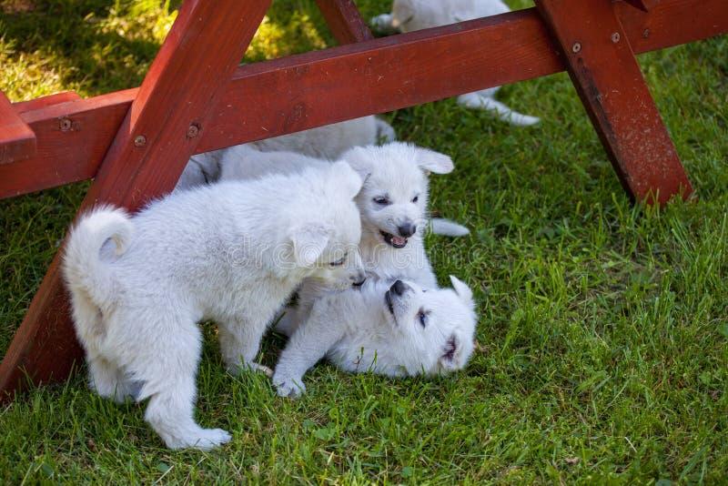 Cachorrinhos de um carneiro-cão suíço branco fotos de stock