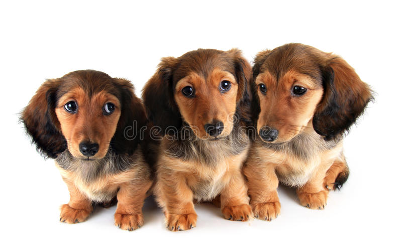 Cachorrinhos do bassê imagem de stock royalty free