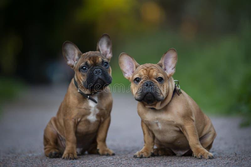 Cachorrinhos do buldogue francês que jogam a parte externa fotos de stock royalty free