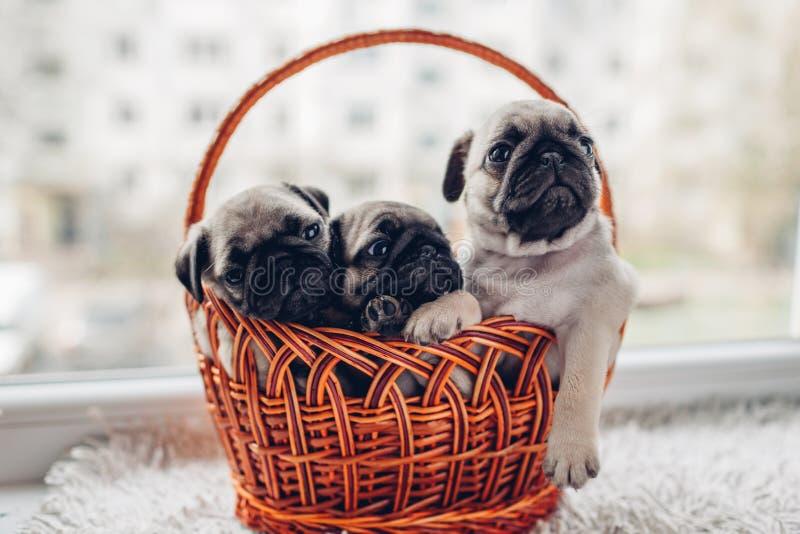 Cachorrinhos do cão do Pug que sentam-se na cesta Pouco cachorrinhos que têm o divertimento Produzindo cães fotografia de stock