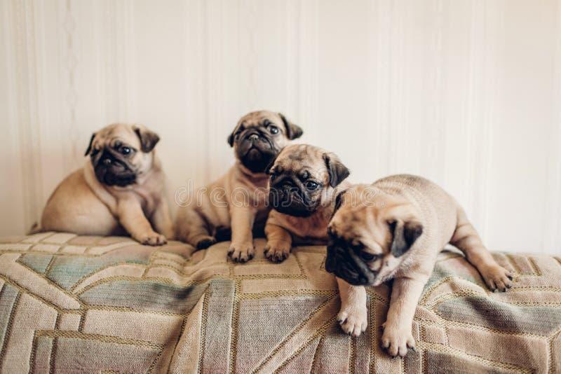 Cachorrinhos do c?o do Pug que sentam-se no sof? Pouco cachorrinhos que t?m o divertimento Produzindo c?es imagem de stock royalty free