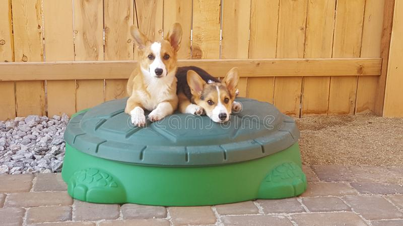 Cachorrinhos do Corgi imagem de stock royalty free