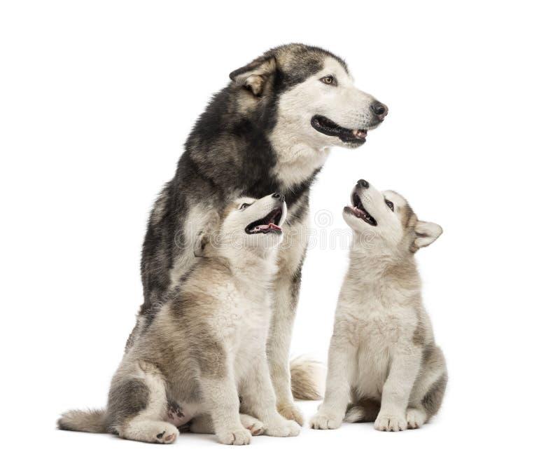 Cachorrinhos do Malamute do Alasca e seu assento do mum fotografia de stock
