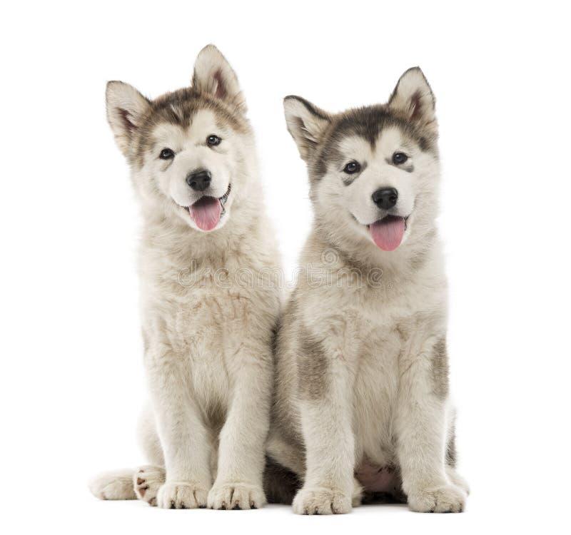 Cachorrinhos do Malamute do Alasca que sentam-se e que arfam imagens de stock