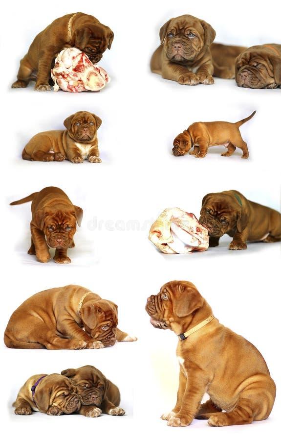 Cachorrinhos do mastim do Bordéus com grandes ossos fotos de stock