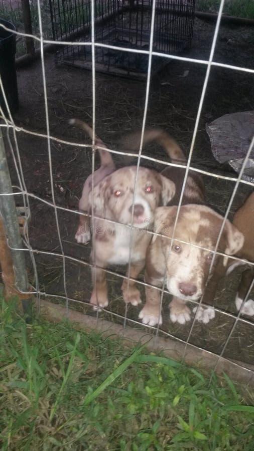 Cachorrinhos do pitbull imagem de stock