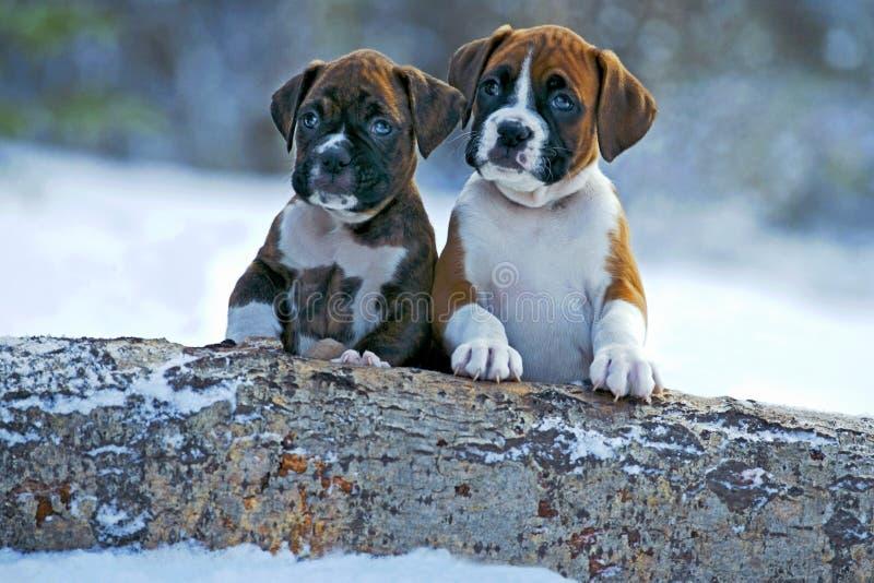 Cachorrinhos do pugilista na neve fotografia de stock royalty free