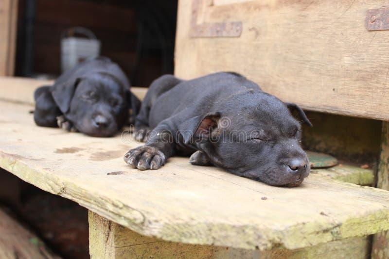 Cachorrinhos do sono imagens de stock royalty free