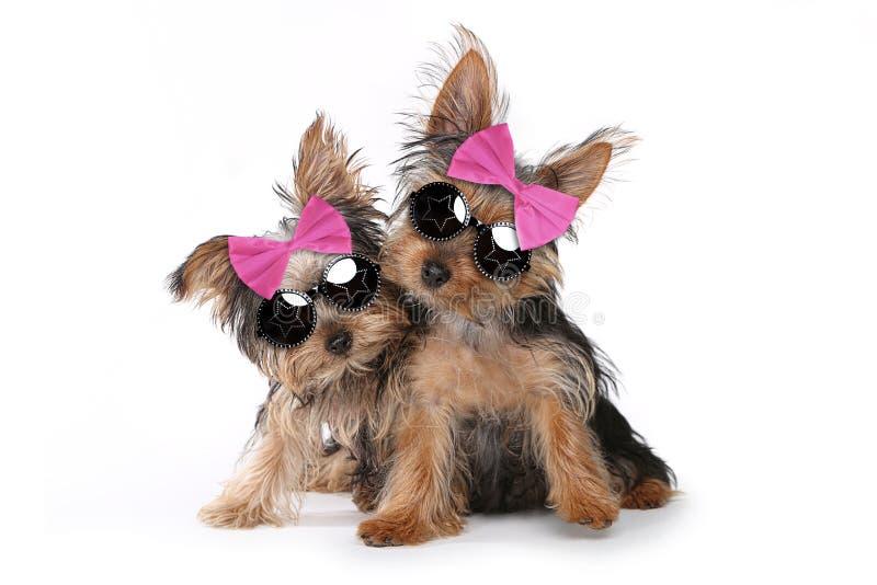 Cachorrinhos do yorkshire terrier vestidos acima no rosa fotos de stock royalty free