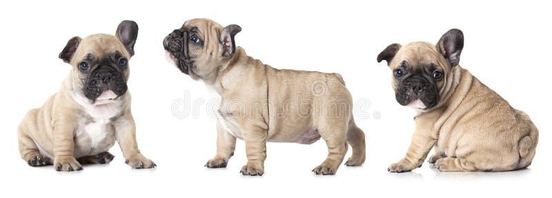 Cachorrinhos dos buldogues franceses imagem de stock royalty free