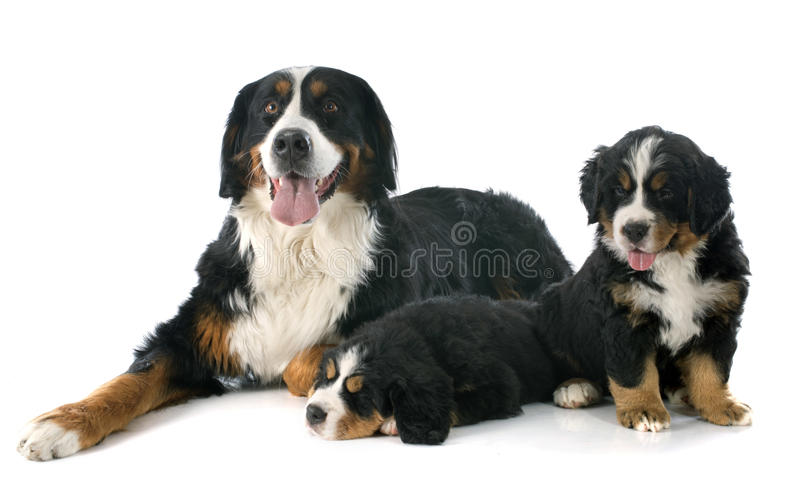 Cachorrinhos e cão bernese adulto do moutain imagem de stock