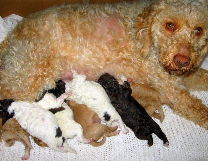 Cachorrinhos e mãe pequenos imagem de stock royalty free