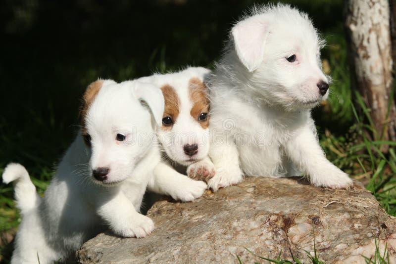 Cachorrinhos lindos de Jack Russell Terrier imagens de stock
