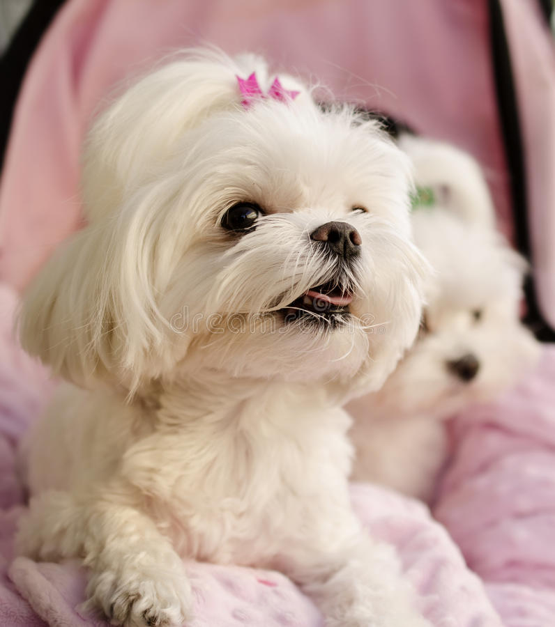 Cachorrinhos malteses imagem de stock