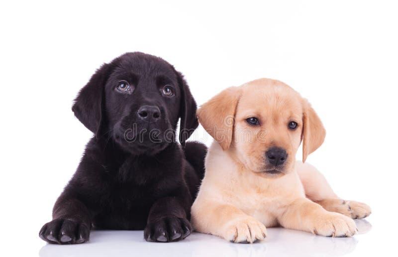 Cachorrinhos pretos e amarelos de labrador retriever que encontram-se para baixo fotos de stock royalty free