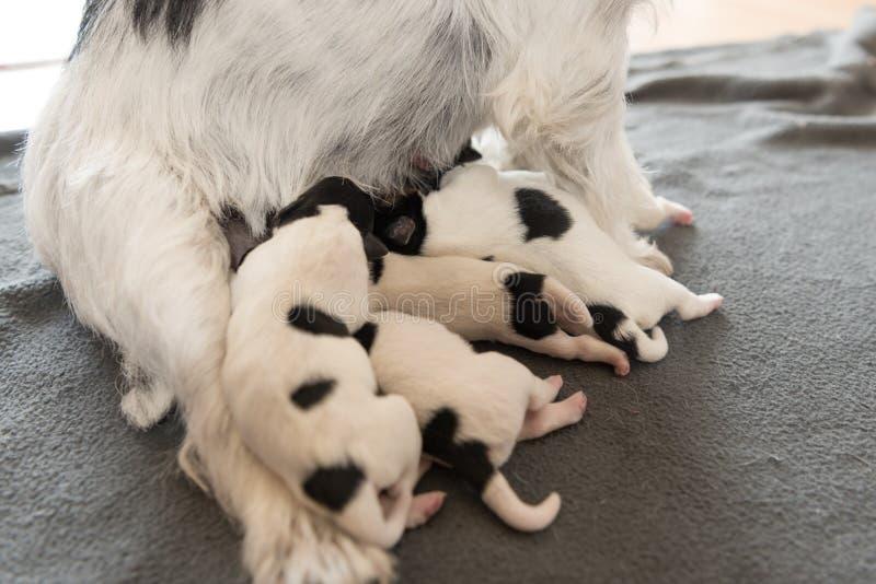 Cachorrinhos recém-nascidos do cão - 2 dias velho - leite bebendo dos cachorrinhos de Jack Russell Terrier em sua mãe imagens de stock royalty free
