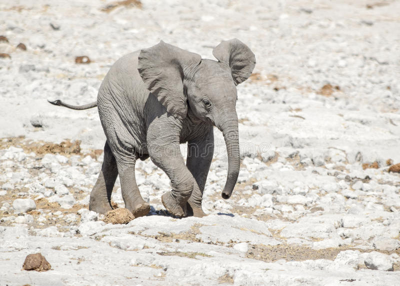 Cachorro africano del elefante del arbusto foto de archivo