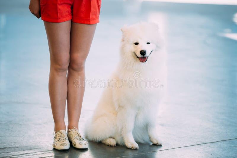 Cachorro blanco del perrito del perro del samoyedo que se sienta en piso imagen de archivo