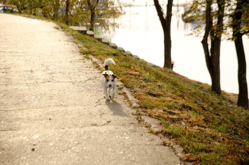 Cachorro bonito caminhando na estrada perto do humor do rio de outono foto de stock royalty free