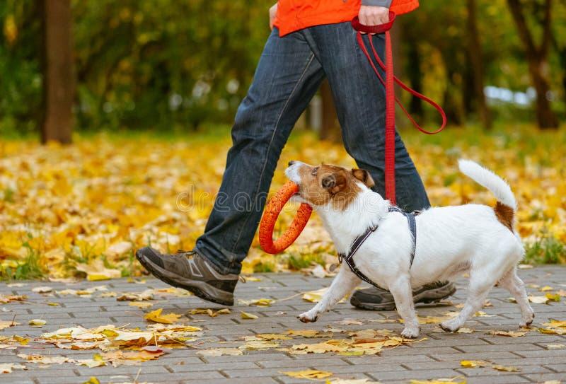 Cachorro caminhando com coleira no outono segurando brinquedo de laranja na boca imagem de stock royalty free