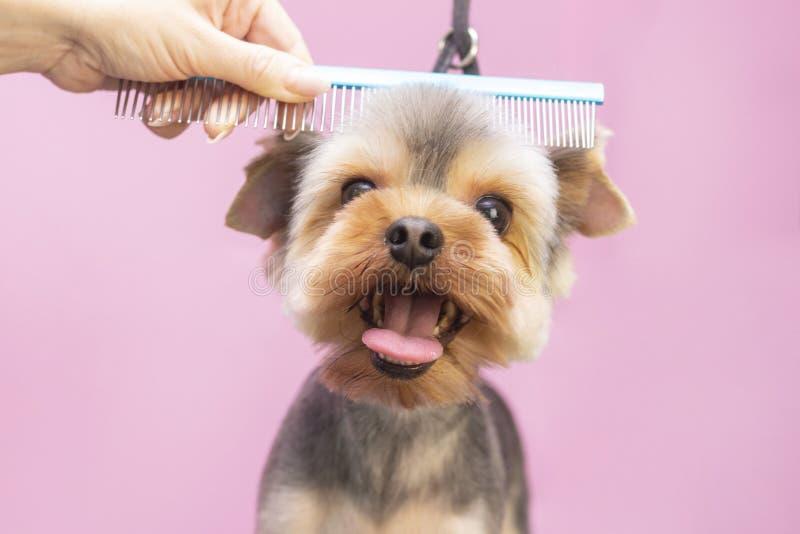Cachorro corta cabelo em Pet Spa Grooming Salon Aproximação do Cachorro imagem de stock royalty free