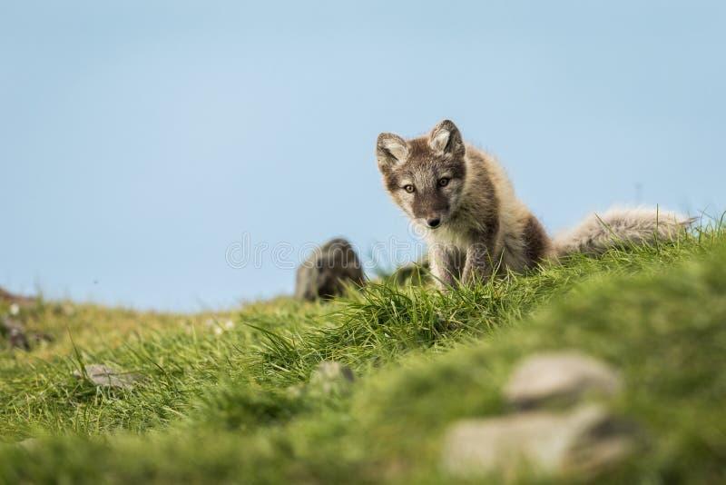 Cachorro curioso del zorro ártico que se sienta y que mira en la cámara Svalbard imagen de archivo