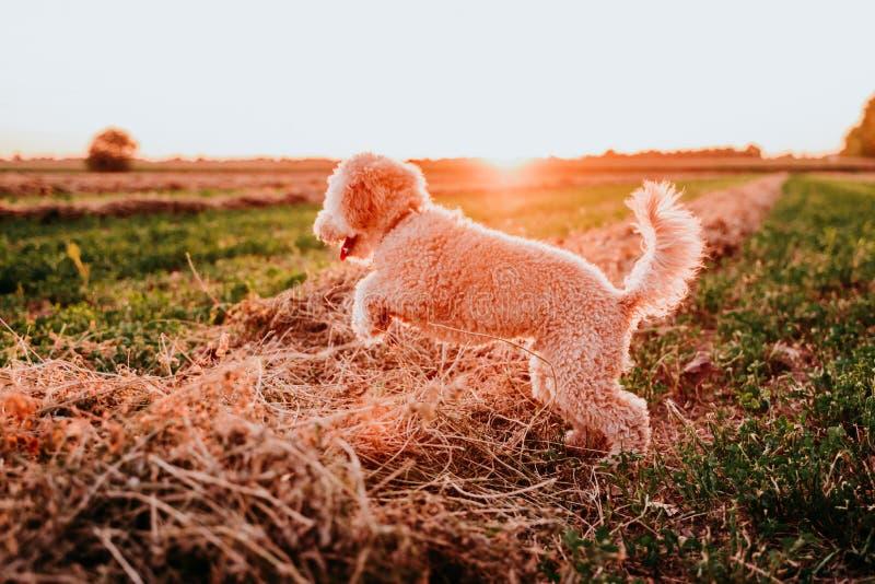 cachorro de brinquedo marrom giro giro correndo ao pôr do sol pelo campo Diversão, esportes e animais de estimação ao ar livre fotos de stock royalty free