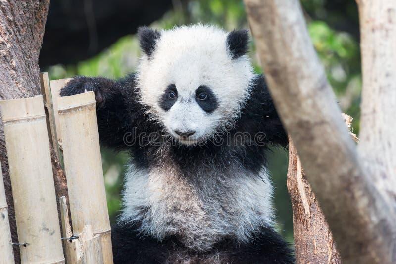 Cachorro de la panda que juega en un árbol imagen de archivo libre de regalías