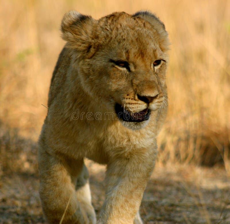 Cachorro de león foto de archivo
