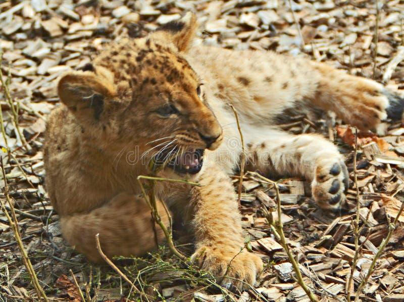 Download Cachorro de león imagen de archivo. Imagen de gato, boca - 7279189