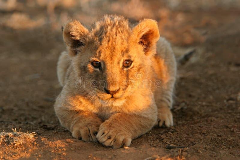 Cachorro de león fotos de archivo
