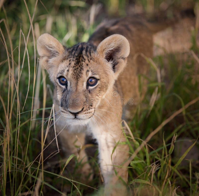 Cachorro de león africano en la hierba alta imagen de archivo
