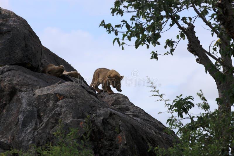 Cachorro de león en roca en los kopjes de Simba imagen de archivo libre de regalías