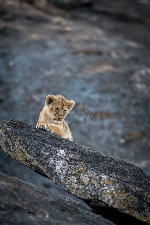 Cachorro de león en una roca imagen de archivo