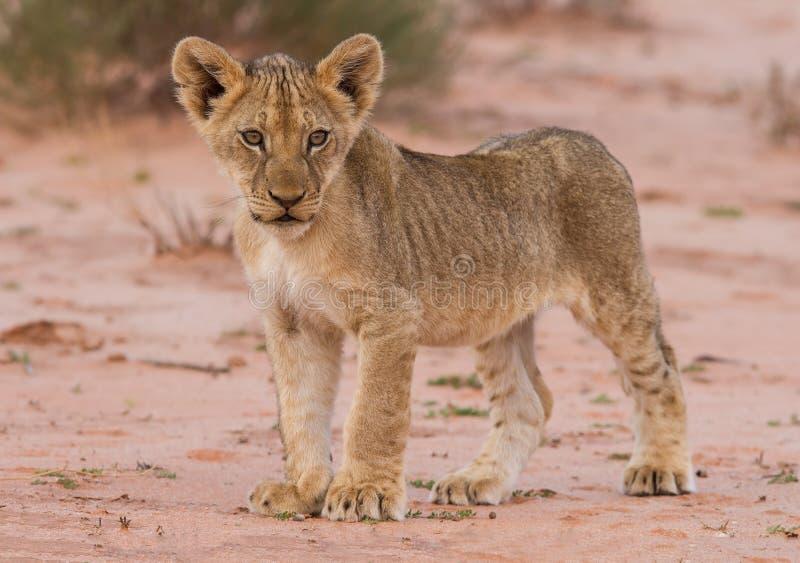 Cachorro de león hermoso en la arena de Kalahari imagenes de archivo