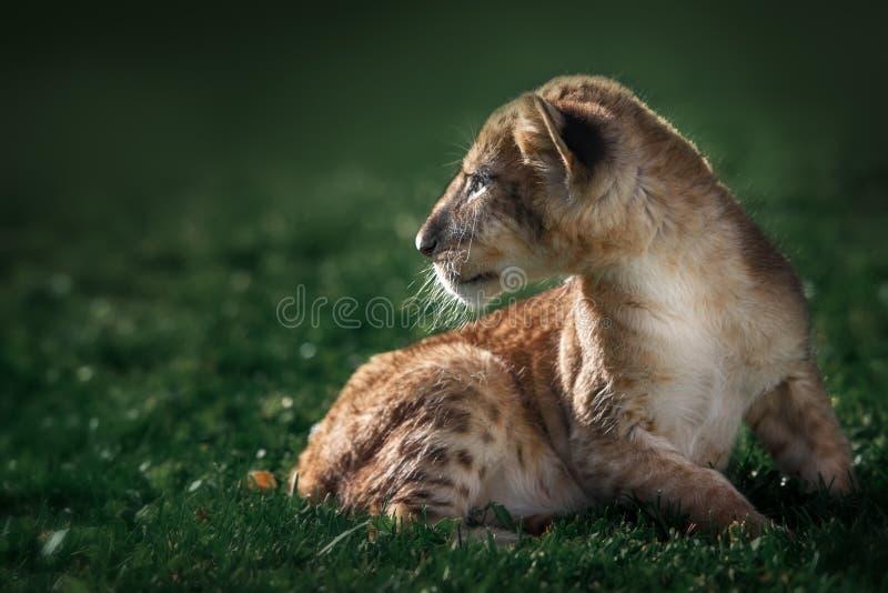 Cachorro de león joven en el salvaje imagenes de archivo