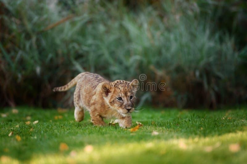 Cachorro de león joven en el salvaje foto de archivo