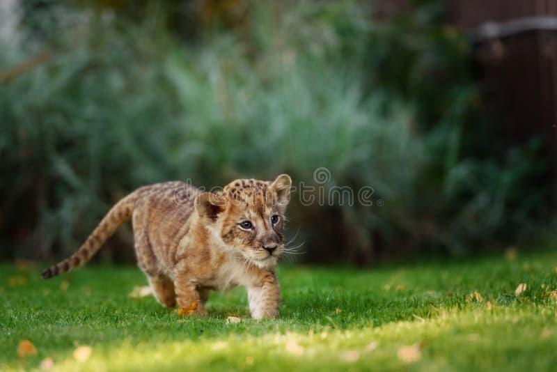 Cachorro de león joven en el salvaje fotografía de archivo