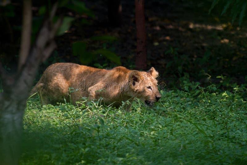 Cachorro de león que acecha a aprender destrezas de la caza fotografía de archivo