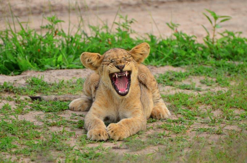 Cachorro de león que bosteza fotografía de archivo