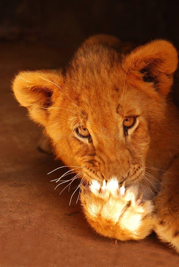 Cachorro de león que lame la pata fotos de archivo libres de regalías