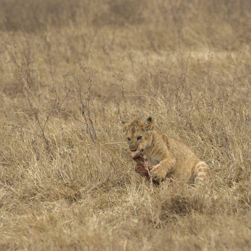 Cachorro de león que mastica el hueso rodeado por la hierba secada imagenes de archivo